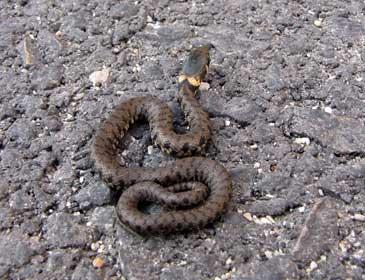 Serpente in libert semina panico in via beccaria a for Biscia nera