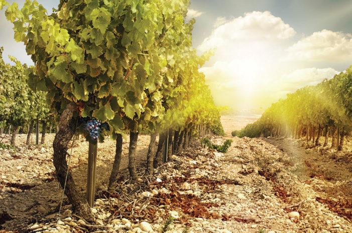 Sentieri del vino a Camigliano, un'immersione nelle antiche pratiche della vendemmia, tra musica folklore, riti pagani e religiosi
